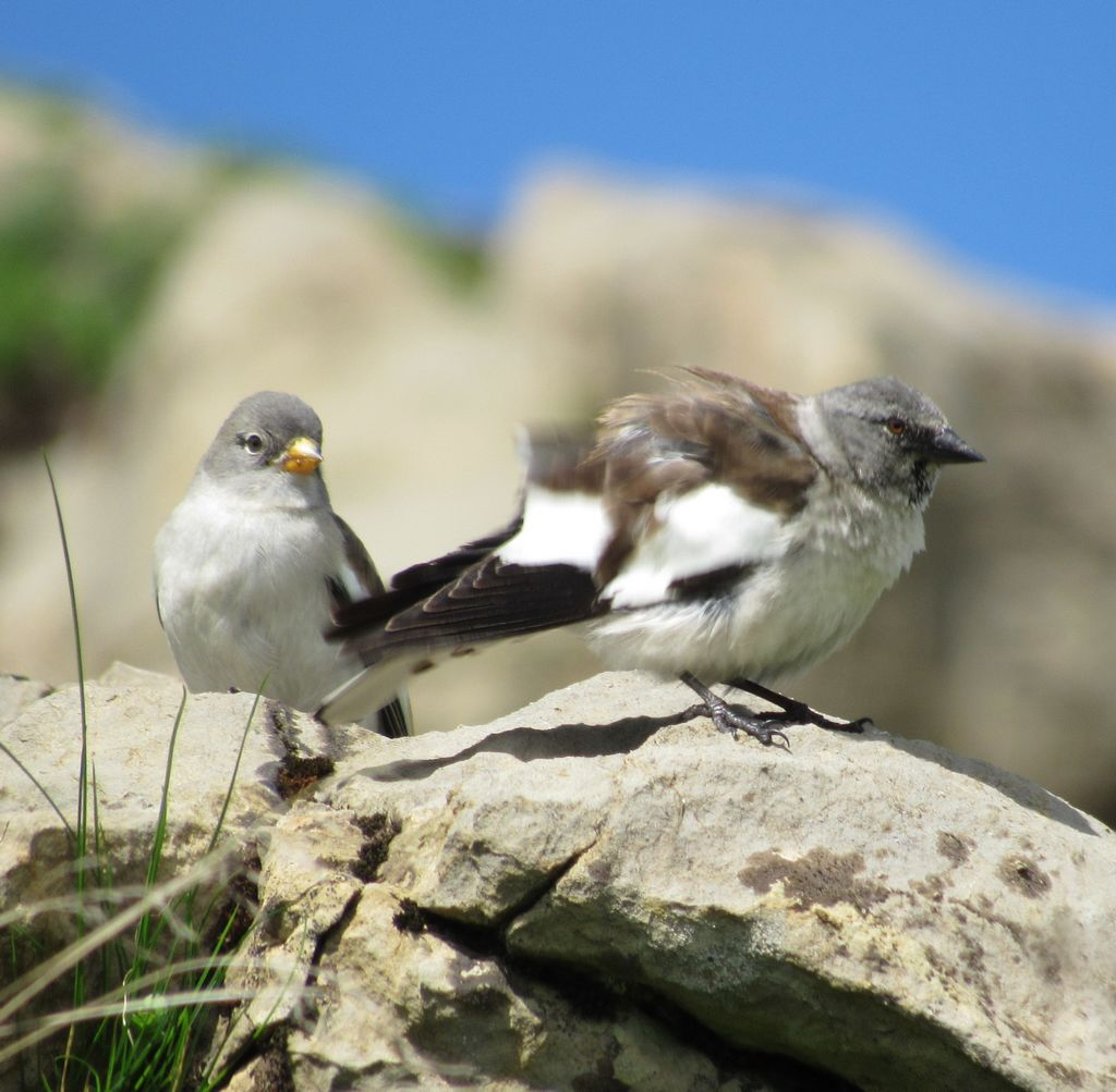 Pair of white-winged snowfinch